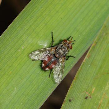 Peleteria varia (Raupenfliege)