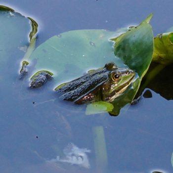 Pelophylax sp. (Wasserfrosch)
