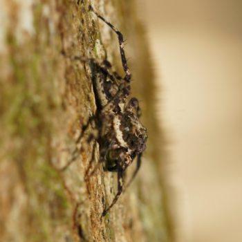 Phaeacius cf. malayensis (Springspinne)