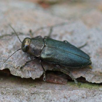 Phaenops cyanea (Blauer Kiefernprachtkäfer)