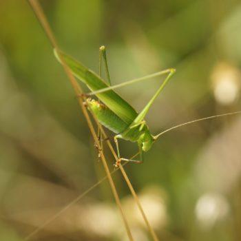 Phaneroptera falcata (Gemeine Sichelschrecke)