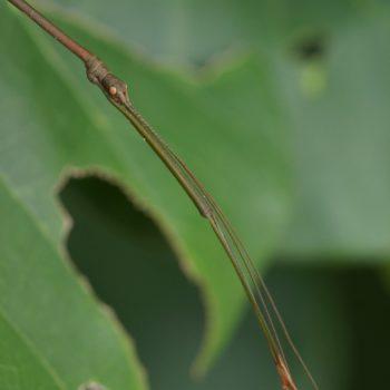 Phasmatodea sp. (Gespenstschrecke)