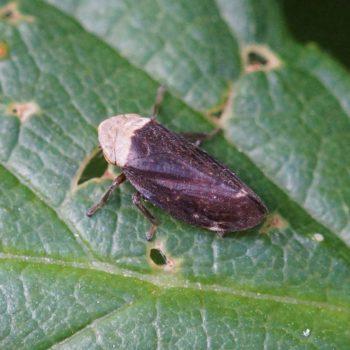 Philaenus spumarius (Wiesenschaumzikade)