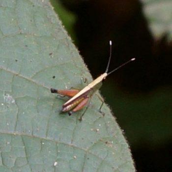 Phlaeoba antennata (Silent Slant-faced Grasshopper)