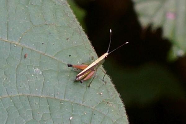 <i>Phlaeoba antennata</i> (Silent Slant-faced Grasshopper)