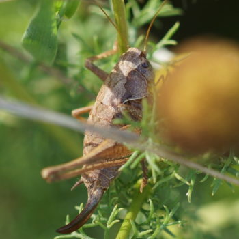 Pholidoptera griseoaptera (Gemeine Strauchschrecke)
