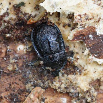 Phosphuga atrata (Schwarzer Schneckenjäger)