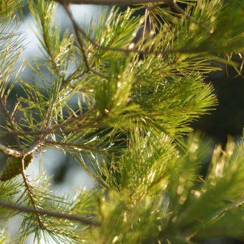 Pinus halepensis (Aleppo-Kiefer)