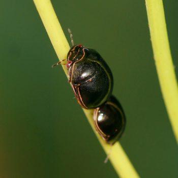Plataspidae sp. (Kugelwanze) - Thailand
