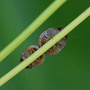 Plataspidae sp. (Kugelwanze)
