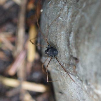 Platybunus pinetorum (Waldgroßauge)