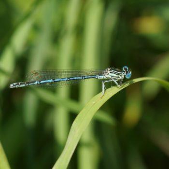 Platycnemis pennipes (Blaue Federlibelle)