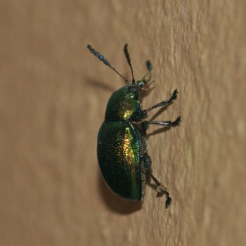 Platycorynus sp. (Blattkäfer)