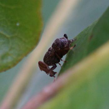 Platystomatidae sp. (Breitmundfliege) - Thailand