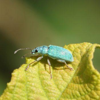 Polydrusus sp. (Grünrüssler)