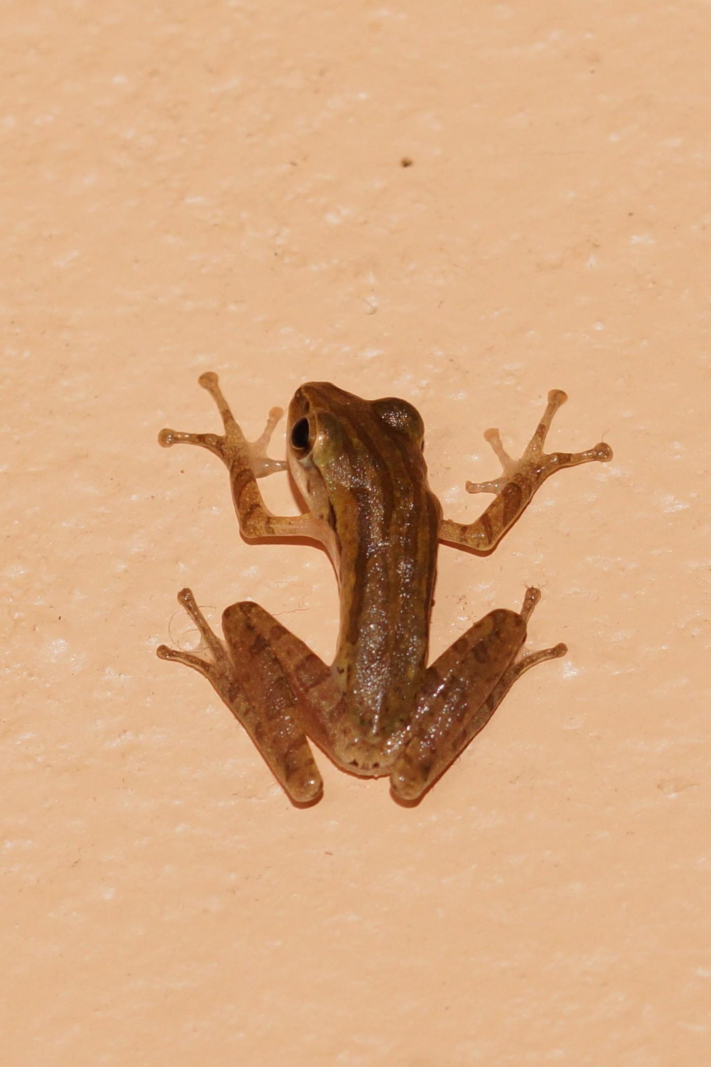 <i>Polypedates leucomystax</i> (Weißbart-Ruderfrosch)