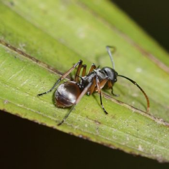 Polyrhachis sp. (Schuppenameise)