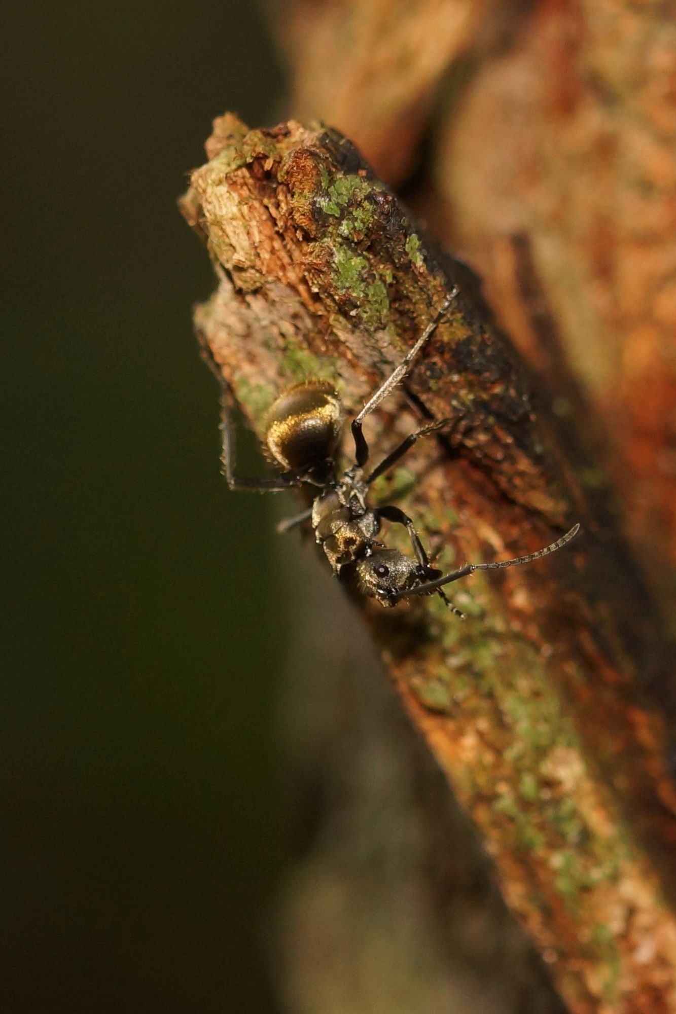 <i>Polyrhachis</i> sp. (Schuppenameise)