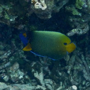 Pomacanthus xanthometopon (Blaukopf-Kaiserfisch) - Thailand