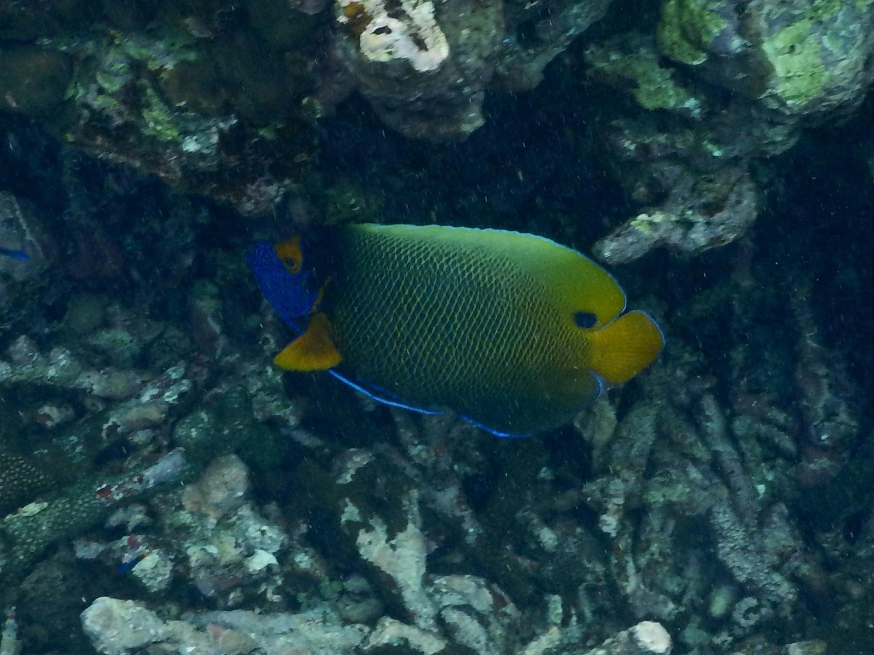 <i>Pomacanthus xanthometopon</i> (Blaukopf-Kaiserfisch)