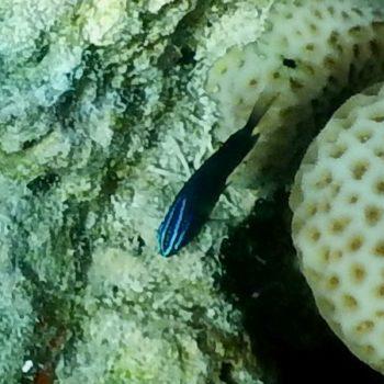 Pomacentrus polyspinus (Thai Damsel) - Thailand