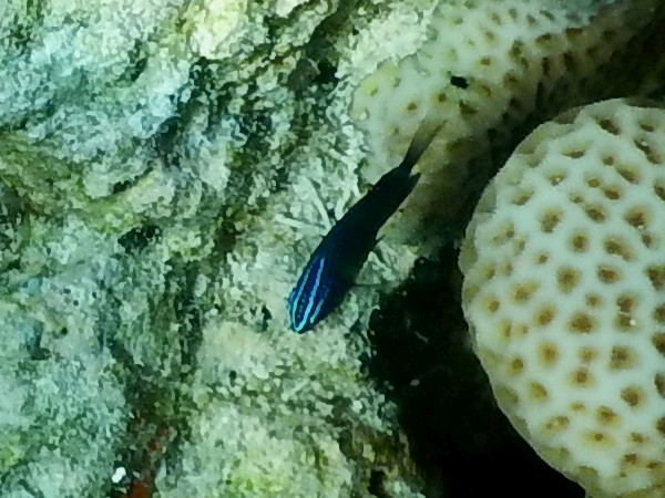 <i>Pomacentrus polyspinus</i> (Thai Damsel)
