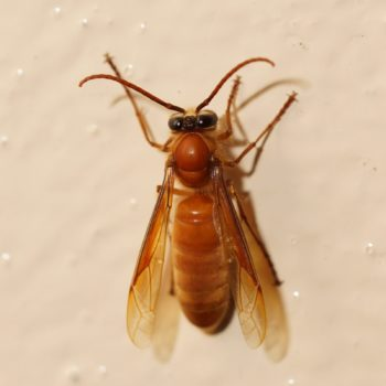 Provespa sp. (Nocturnal Wasp)