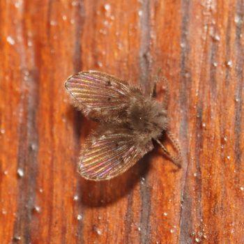Psychodidae sp. (Schmetterlingsmücke) - Thailand
