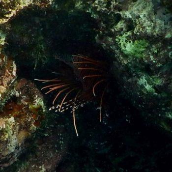 Pterois antennata (Antennen-Feuerfisch) - Thailand