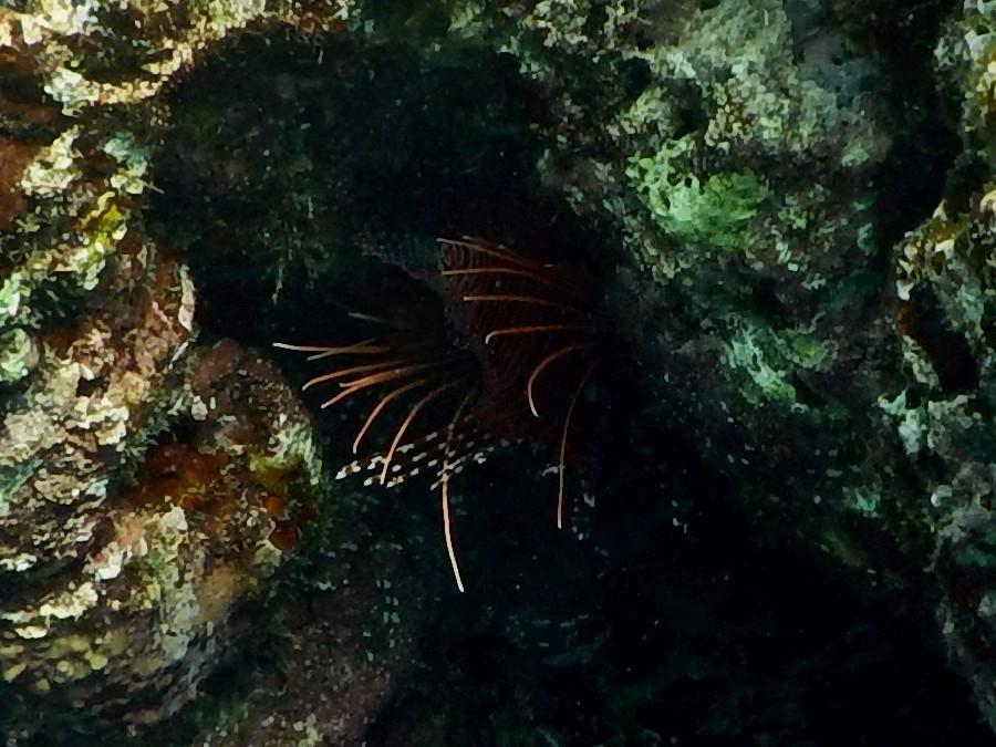 <i>Pterois antennata</i> (Antennen-Feuerfisch)