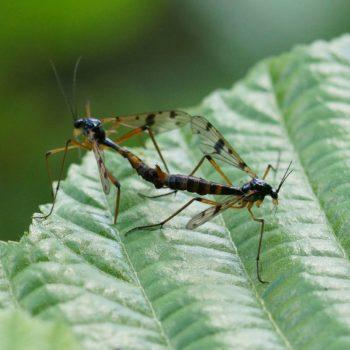 Ptychoptera contaminata (Faltenmücke)