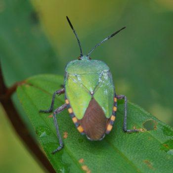 Heteroptera (Wanzen) - Thailand 2017