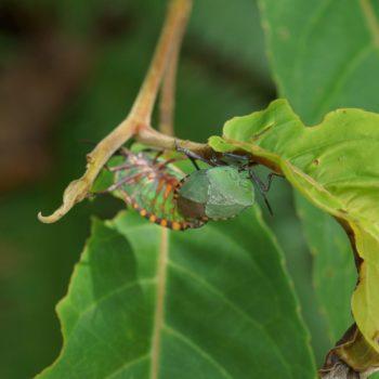 Pycanum rubens (Baumwanze)