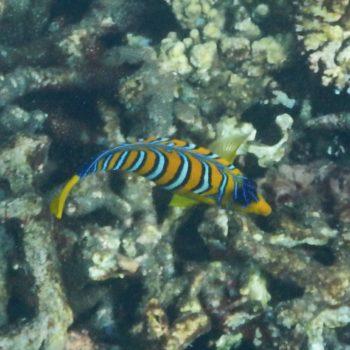Pygoplites diacanthus (Pfauen-Kaiserfisch) - Thailand