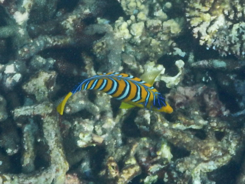<i>Pygoplites diacanthus</i> (Pfauen-Kaiserfisch)