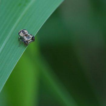 Rhene flavigera (Rhene Jumping Spider)
