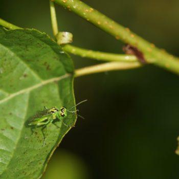 Rhogogaster cf. viridis (Grüne Blattwespe)