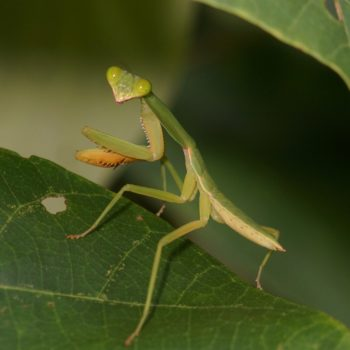 Mantodea (Fangschrecken)