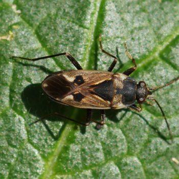Rhyparochromus vulgaris (Gewöhnliche Laufwanze)