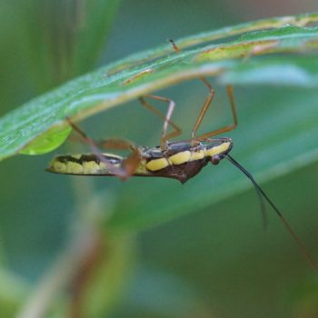Riptortus linearis (Soy Pod Bug)