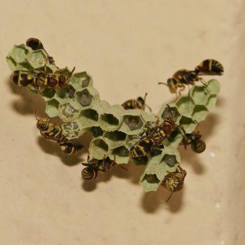 Hymenoptera (Hautflügler)