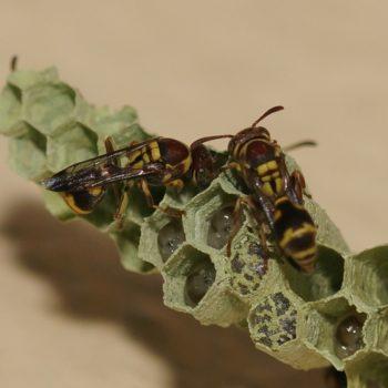 Ropalidia sp. (Feldwespe)