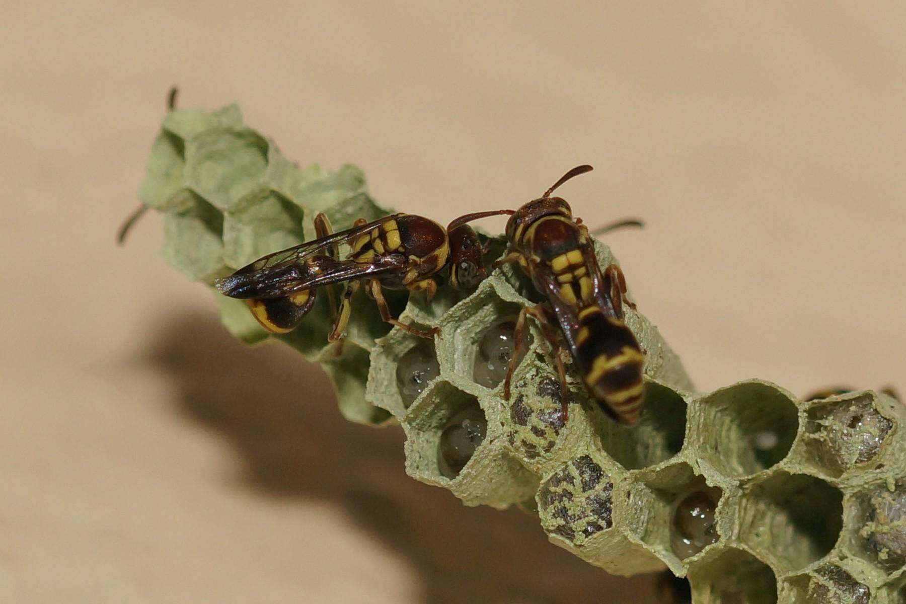 <i>Ropalidia</i> sp. (Feldwespe)