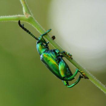 Coleoptera (Käfer) - Thailand 2017