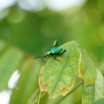 Sagra femorata (Frog-legged Leaf Beetle)