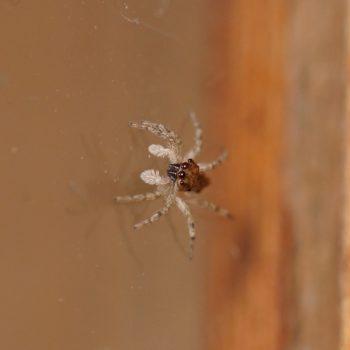 Salticidae sp. (Springspinne)