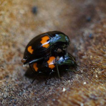 Scaphidiinae