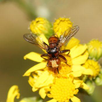 Sicus ferrugineus (Gemeine Breitstirnblasenkopffliege)