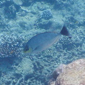 Siganus javus (Java-Kaninchenfisch) - Thailand
