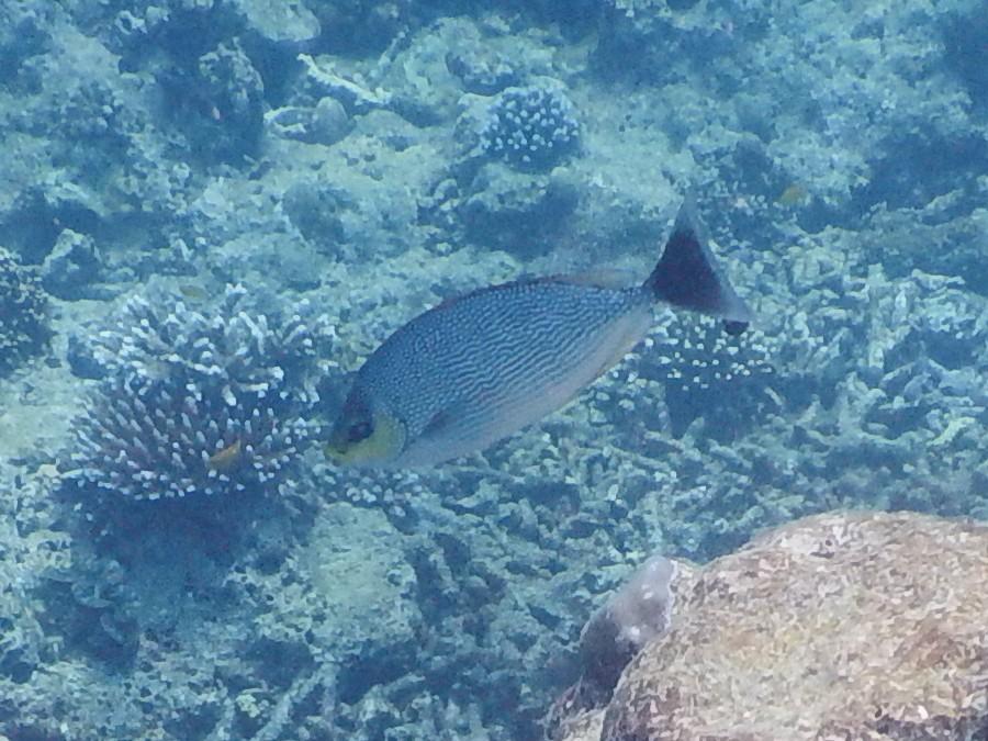 <i>Siganus javus</i> (Java-Kaninchenfisch)